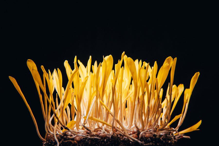 Bright yellow corn shoots against black