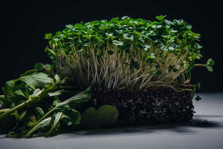 Arugula microgreens beside mature arugula