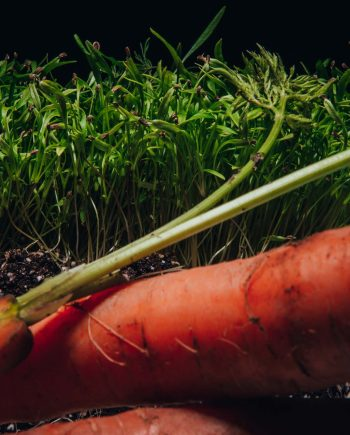 Carrot microgreens beside mature carrot