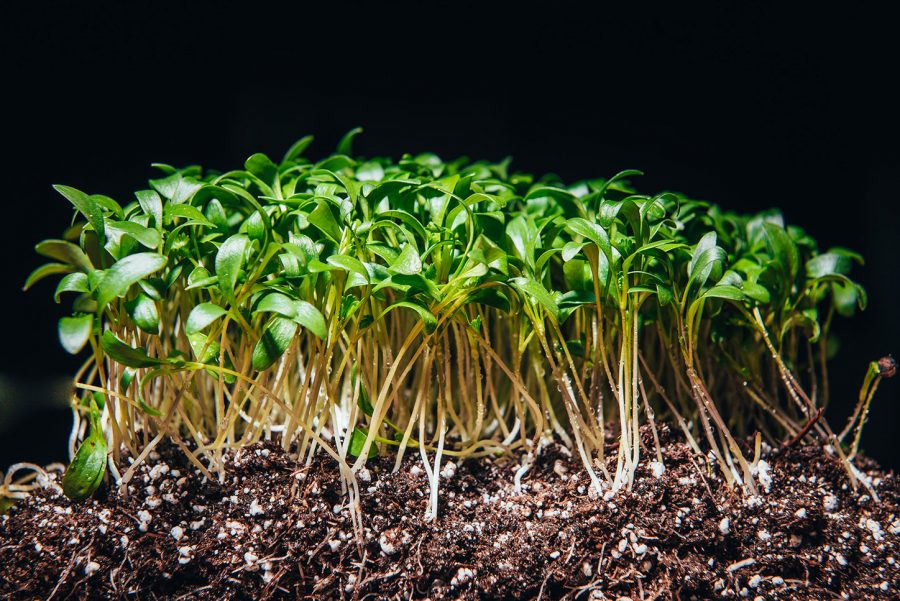 Close up of cilantro microgreens growing in soil