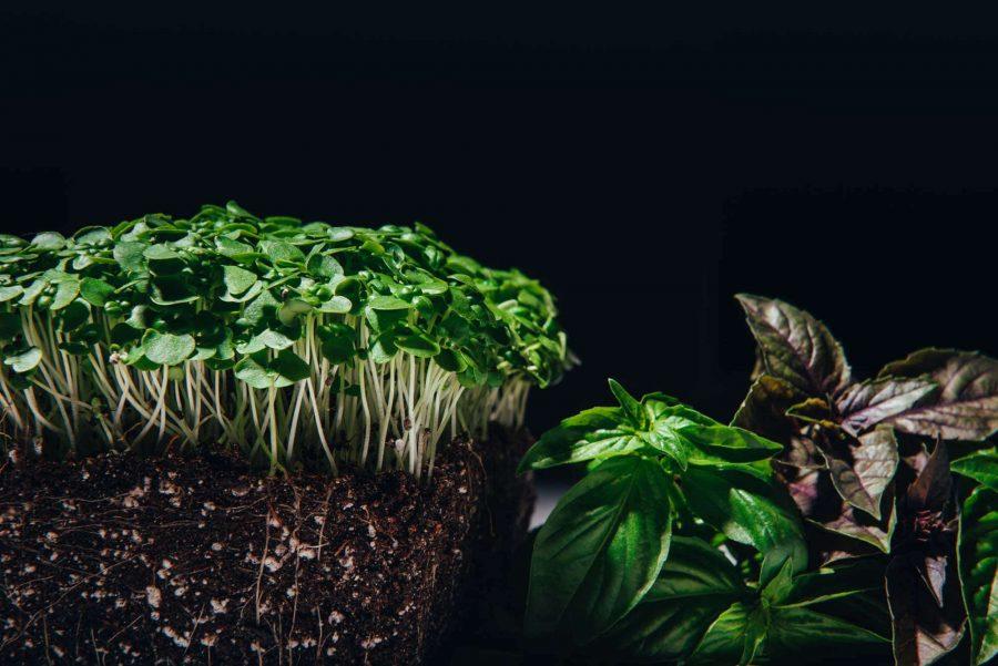 Genovese basil microgreens beside mature basil