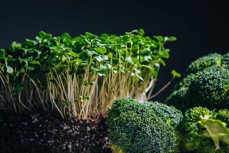 Broccoli microgreens beside mature broccoli