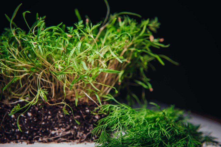 Dill microgreens beside mature dill