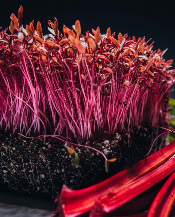 Red Amaranth microgreens beside mature beets and beet roots