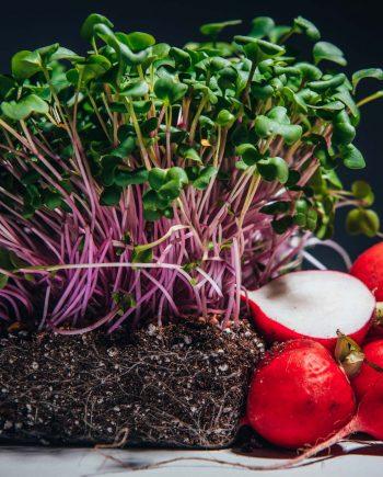 Purple stem radish microgreens