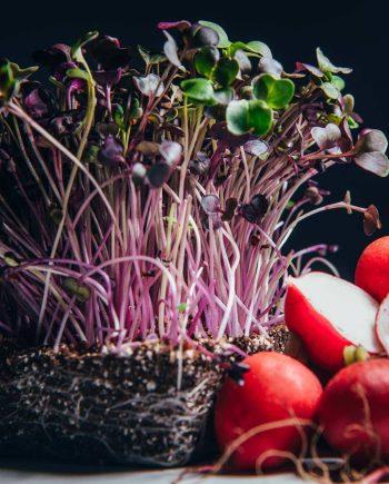Red rambo radish microgreens beside mature radish