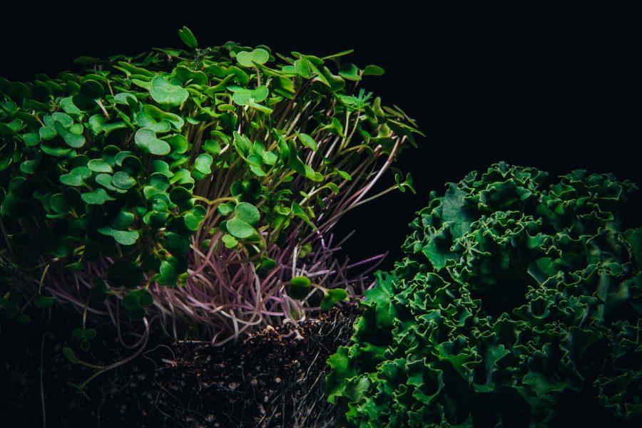 Red Russian kale microgreens beside mature kale