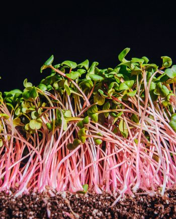 Ruby stem radish microgreens growing out of soil