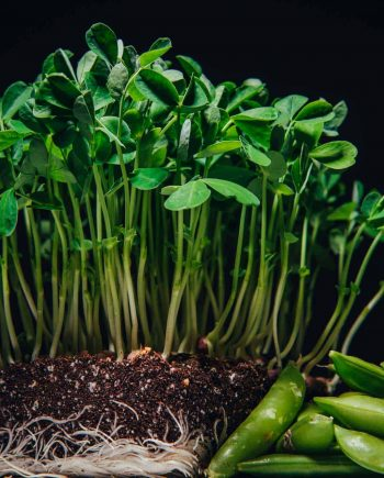 Speckled pea microgreens or pea shoots beside mature vegetable